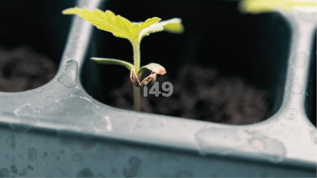 How to relocate your germinated cannabis seeds