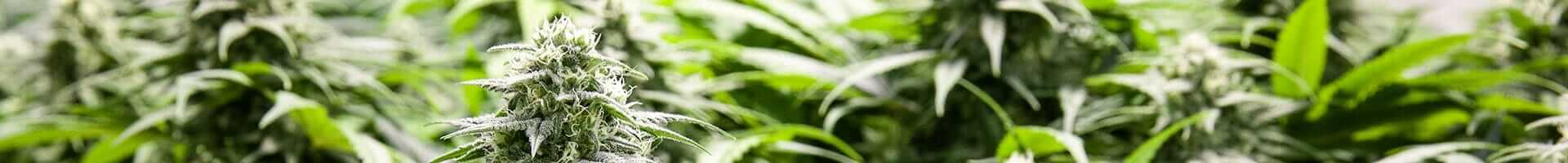 Humidity for growing weed