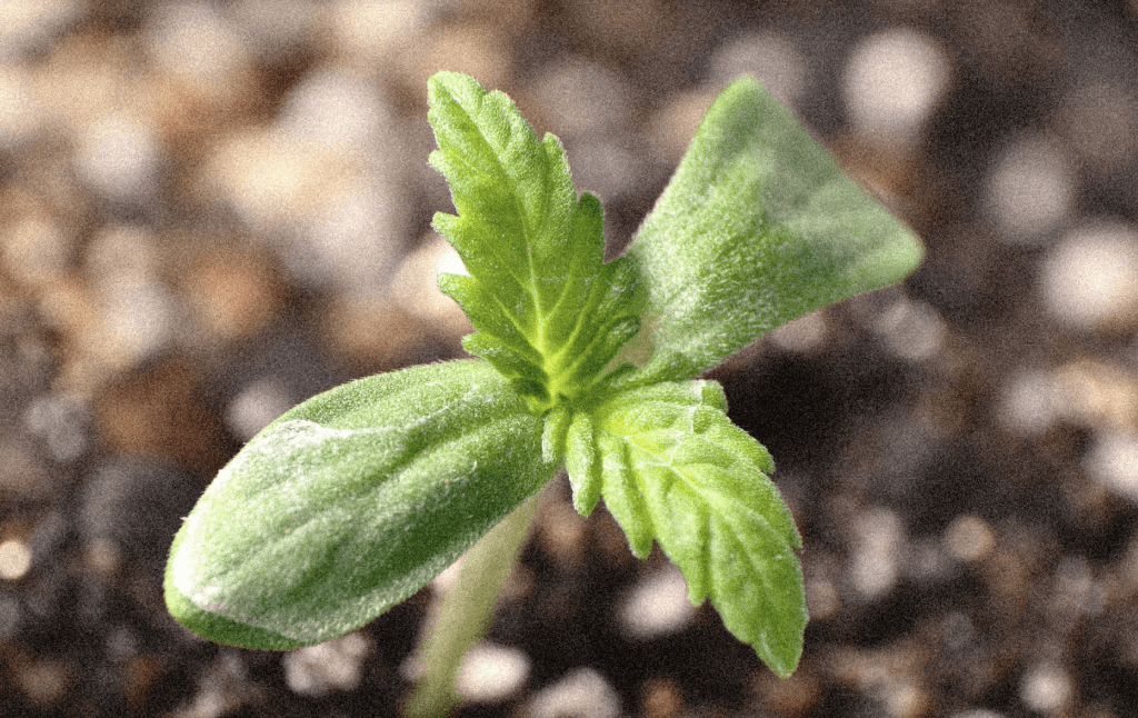 Seedling sprout