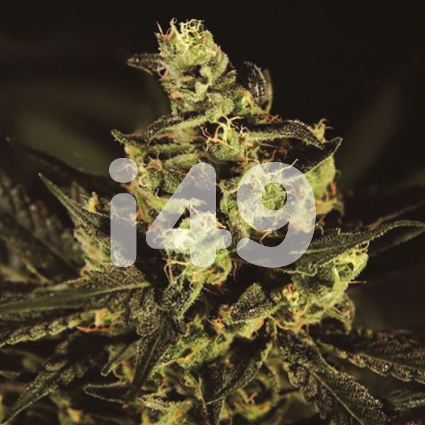 Buy Exodus Cheese Blue Head Band Seeds Online USA