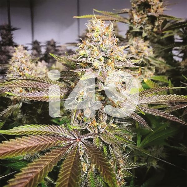 Buy Blueberry Strain Seeds in the USA