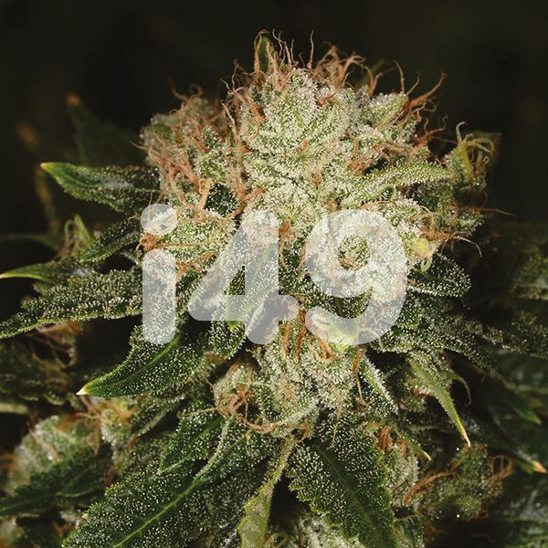 Auto Bruce seeds for sale