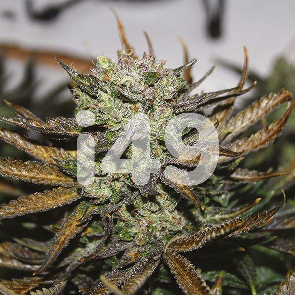 Girl Scout Cookies Kush for sale